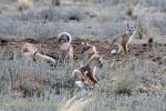 Степные лисички-невелички